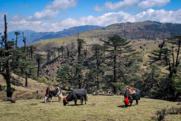 Yak graze in the Singalila range of the Kangchenjunga Landscape. Photo Credit: Nakul Chettri/ICIMOD