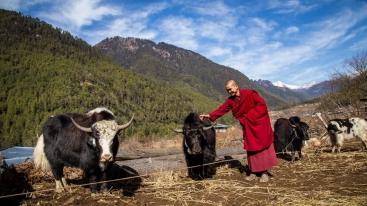 A Lama blesses the yak to be handed over to India and Nepal during the handover ceremony in Paro