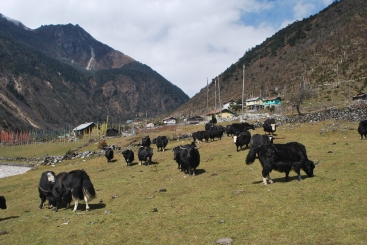 A yak herd grazes in Lachen, North Sikkim, India. Domesticated yak are an important part of the livelihoods of mountain communities across the Himalaya.